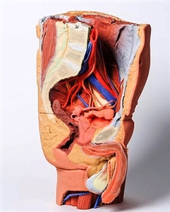 3d male left pelvis and proximal thigh replica