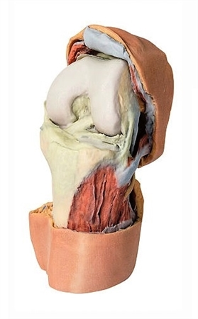 3D Printed Flexed knee joint deep dissection Model | 3D Printed Flexed knee joint deep dissection Replica