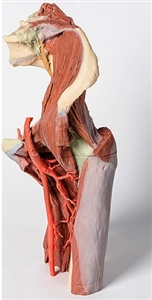 3D Printed Lower Limb - deep dissection of a left pelvis and thigh
