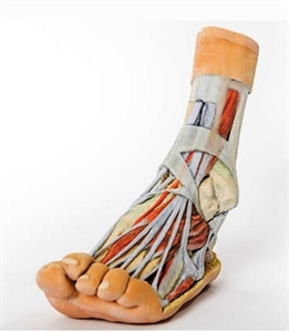 3D Printed Foot Model showing  Superficial and deep dissection of distal leg and foot | 3D Printed Foot Replica showing  Superficial and deep dissection of distal leg and foot