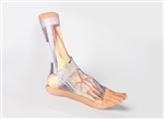 3D Printed Foot - Superficial and deep structures of the distal leg and foot Model | 3D Printed Foot - Superficial and deep structures of the distal leg and foot replica
