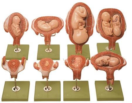 SOMSO Series Showing Pregnancy Models