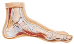 Normal Foot Model Distal end of Tibia | SOMSO Normal Foot  Model Distal end of Tibia