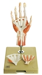 SOMSO Surgical Hand | Surgical Hand Model | SOMSO Surgical Hand Model | SOMSO Surgical Hand Model NS-13-1