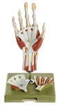Surgical Hand Model | SOMSO Surgical Hand | SOMSO Surgical Hand Model | SOMSO Surgical Hand Model NS-13-1-E | SOMSO Surgical Hand Model with Didactic Color Scheme NS13-1E