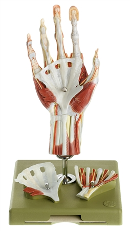 SOMSO Surgical Hand Model with Didactic Color Scheme - NS13-1-E