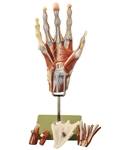 SOMSO Muscles of the Hand | SOMSO Muscles of the Hand Model | SOMSO Surgical Hand Model | SOMSO Muscles of the Hand Model with Base of Forearm | SOMSO Muscles of the Hand Model with Base of Forearm NS-13