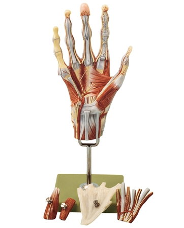 SOMSO Muscles of the Hand Model with Base of Forearm - NS13