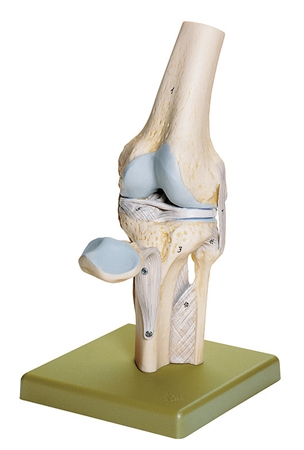 SOMSO Knee Joint Model - NS19