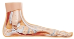 Flat Foot Model Distal end of Tibia | SOMSO Flat Foot  Model Distal end of Tibia