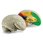 Brain Model Cross-Section