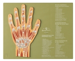 SOMSO Hand Section Model | SOMSO Section of the Hand | SOMSO Section through the Hand  NS-45