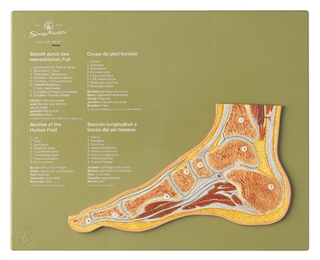 SOMSO Normal Foot Section Model | SOMSO Section of the Normal Foot | SOMSO Section through a Normal Foot NS-47