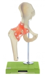 SOMSO Hip Model | Hip Joint Model  | SOMSO Hip Joint Model | Functional Hip Joint Model | SOMSO Functional Hip Joint Model NS-51
