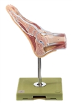 SOMSO Normal Foot Model with Surface Muscles - NS8