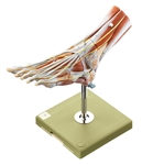 SOMSO Muscles of the Foot Model