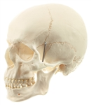 SOMSO Artificial Human Skull Model, 2 parts, Removable Lower Jaw - QS1