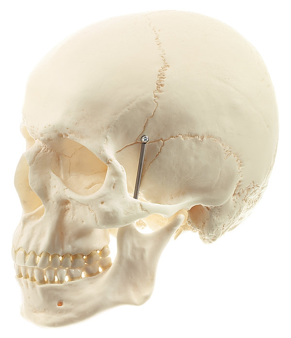 QS1 2?1547823462 somso artificial human skull model, 2 parts, removable lower jaw