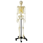SOMSO Artificial Human Skeleton with Roller Stand - QS10-1
