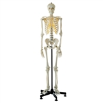SOMSO Artificial Human Skeleton Life-size With a Dustproof Cover - QS10