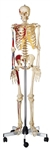 SOMSO Artificial Human Skeleton - Male with hook for hanging - QS10-11