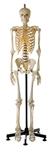 Male Skeleton Model with Movable Vertebral Column and spinal cord | SOMSO Male Skeleton Model with Movable Vertebral Column and spinal cord | Buy SOMSO Artificial Male Skeleton Model with movable vertebral column and spinal cord QS-10-14 On Sale