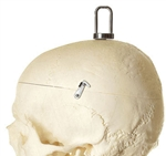 SOMSO Artificial Human Skeleton with Hook at the Skull - QS10-3