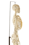 SOMSO Artificial Human Skeleton with Stand for Hanging