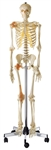SOMSO Artificial Human Skeleton - QS10-6 - QS10-6