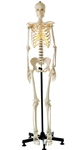 SOMSO Artificial Human Skeleton , Female QS10-7