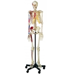 SOMSO Artificial Human Skeleton Male with roller stand