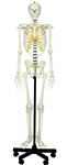 SOMSO Human Skeleton - Skull with removable vault and mandible - QS10-E