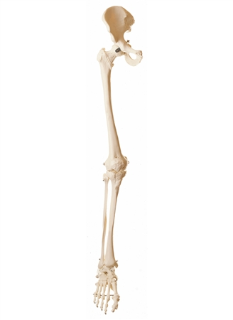 SOMSO Skeleton of the Lower Extremity with Pelvis - QS13