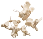 SOMSO Collection of Vertebrae
