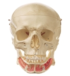 SOMSO Model of the Artificial Human Skull - English and Latin - QS2-1