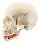 SOMSO Model of the Artificial Human Skull QS 2