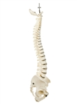 SOMSO Vertebral Column | Spine for for chiropractic demonstrations