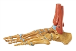 SOMSO Skeleton of the Foot, Right (Rigid) - QS22-2