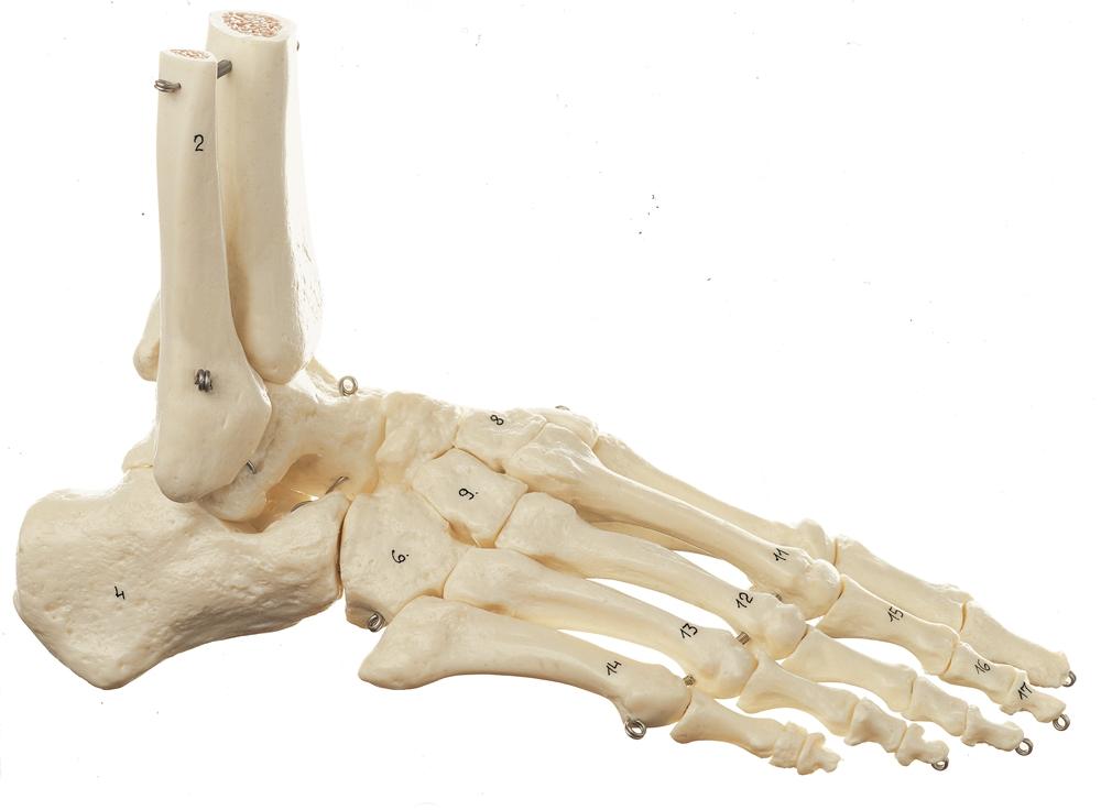 SOMSO Skeleton of the Foot (Not Flexible)