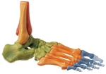 SOMSO Foot Skeleton, Right (Movable Joint Mechanisms and Colour)