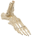 SOMSO Skeleton Model of the Foot (Elastic Mounting)