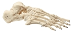 SOMSO Skeleton of the foot - QS24