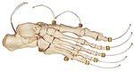 SOMSO Skeleton of the foot (Articulation on nylon) - QS24-N