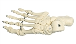 SOMSO Skeleton of the Foot (Elastic Mounting) - QS25