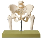 SOMSO Skeleton of Female Pelvis mounted on a stand with green base.
