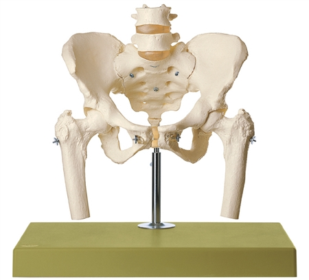 SOMSO Skeleton of Female Pelvis mounted on a stand with green base. - QS27