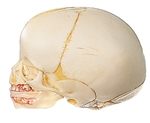 SOMSO Model of the Artificial Skull of a Fetus - 2 Parts - QS3