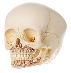 SOMSO Artificial Skull of Child About 6 Years Old - 2 parts - QS3-2