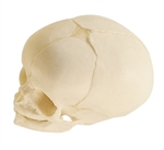 SOMSO Model of the Artificial Skull of a Fetus QS 3/3