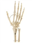 SOMSO Skeleton of Hand with Base of Forearm (Wire Mounting)